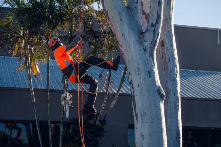 palm tree removal Aranda